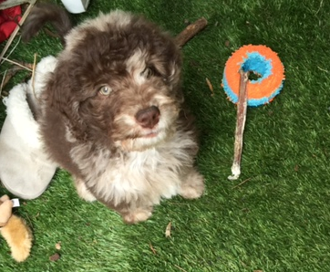 Aussiedoodle Kula at 12 wks old with his Chuckit Roller Ball