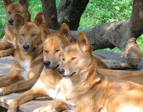 Dingo Dog Pack