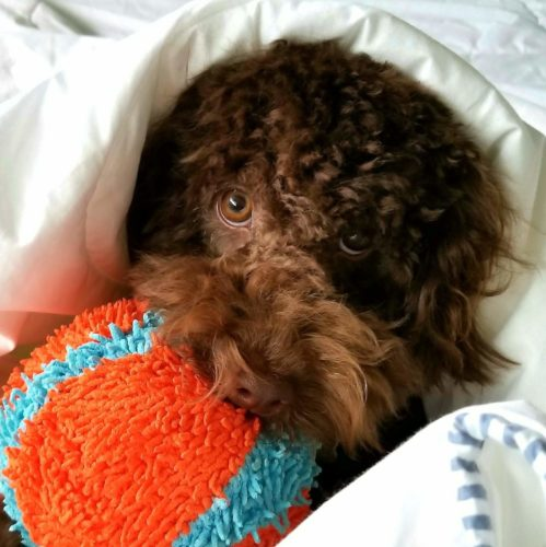 Mini Aussiedoodle Puppy - Puppy Temperament Testing - How to Test Your Puppies Personality