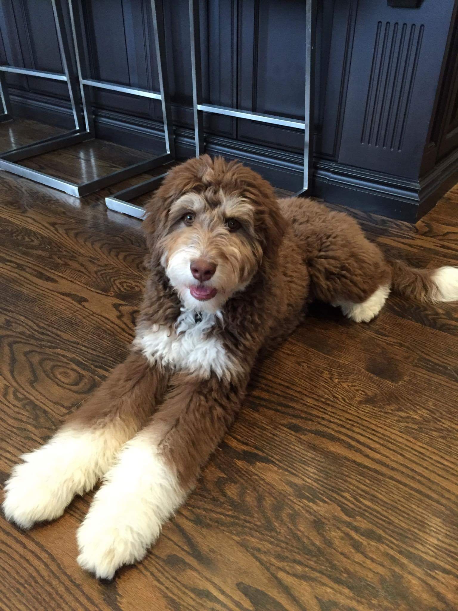 Tuuka - F1 Standard Aussiedoodle from Dreamydoodles.com