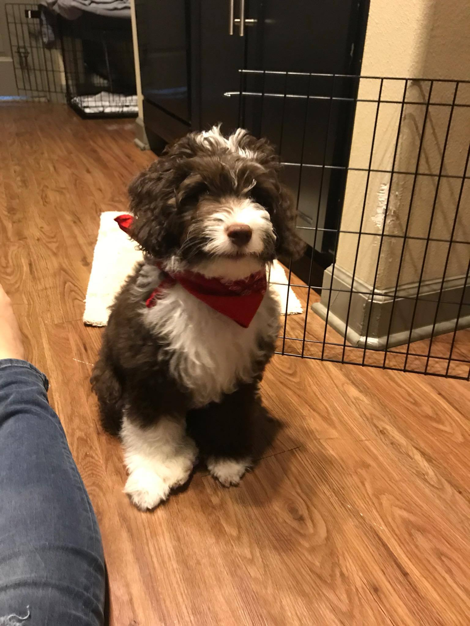 POTTY TRAINING AN AUSSIEDOODLE PUPPY - 7 DAY CRATE TRAINING SCHEDULE- CHOCOLATE AND WHITE BI F1B MINI AUSSIEDOODLE