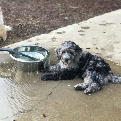 Apollo - Merle Multigen Labradoodle playing in the water