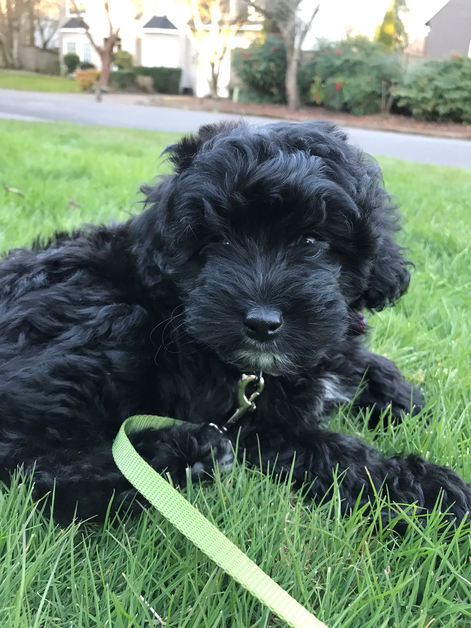 "Black Mini Aussiedoodle ""Adi"" Enjoying the Grass!"