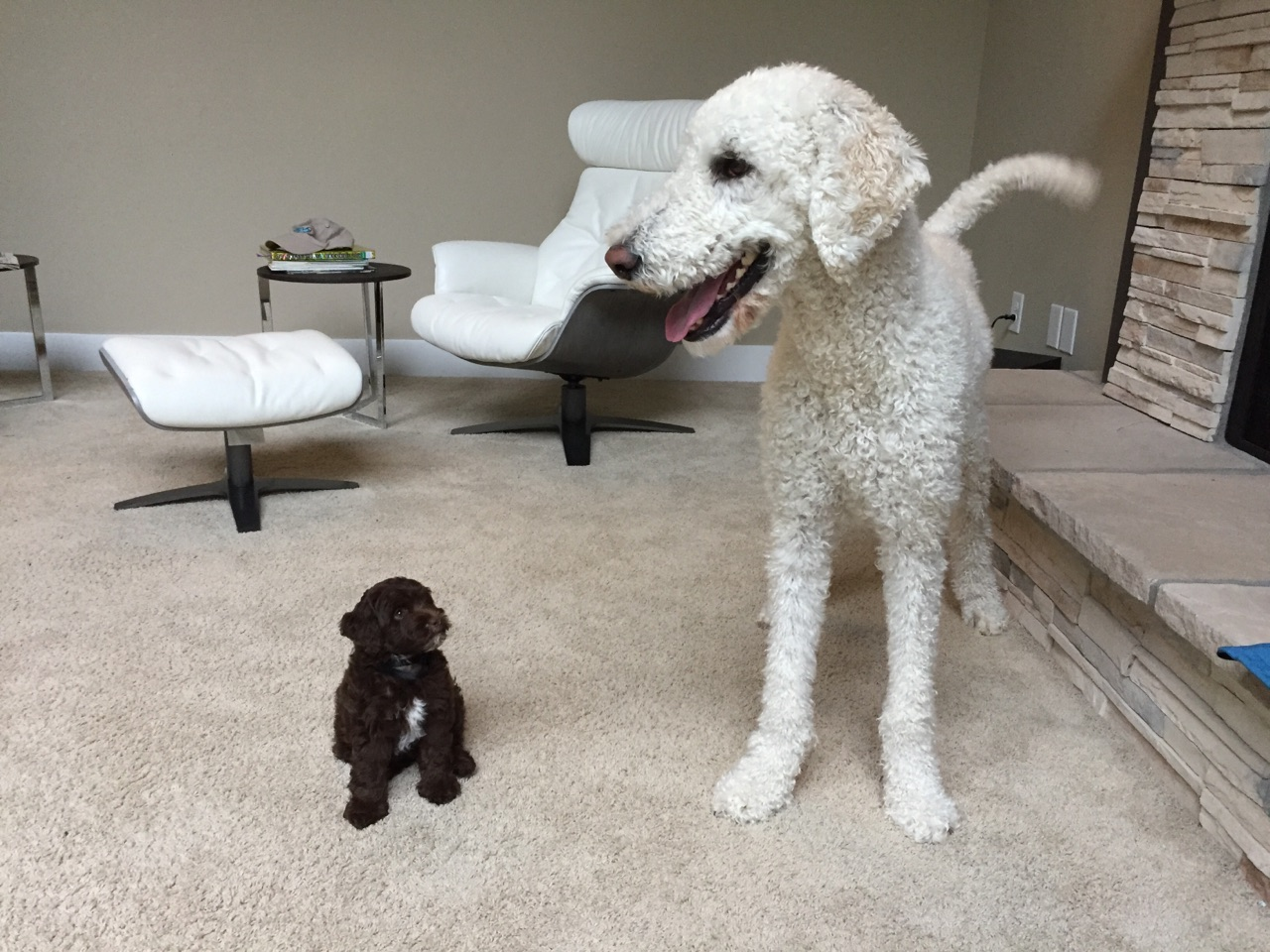 A very Tall Labradoodle with his new and tiny Mini Aussiedoodle housemate