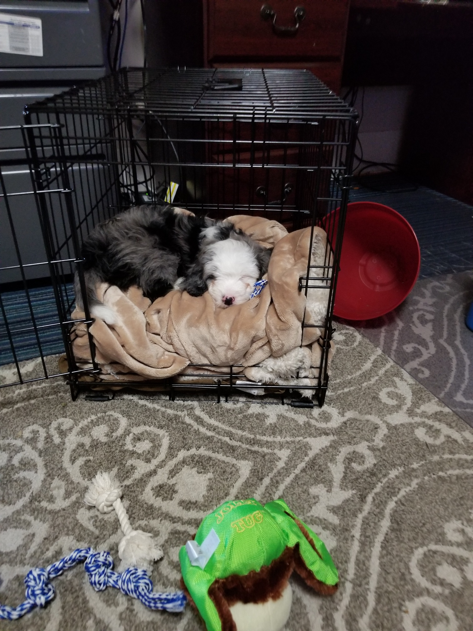 Blue Merle Mini Aussiedoodle Sleeping in their crate