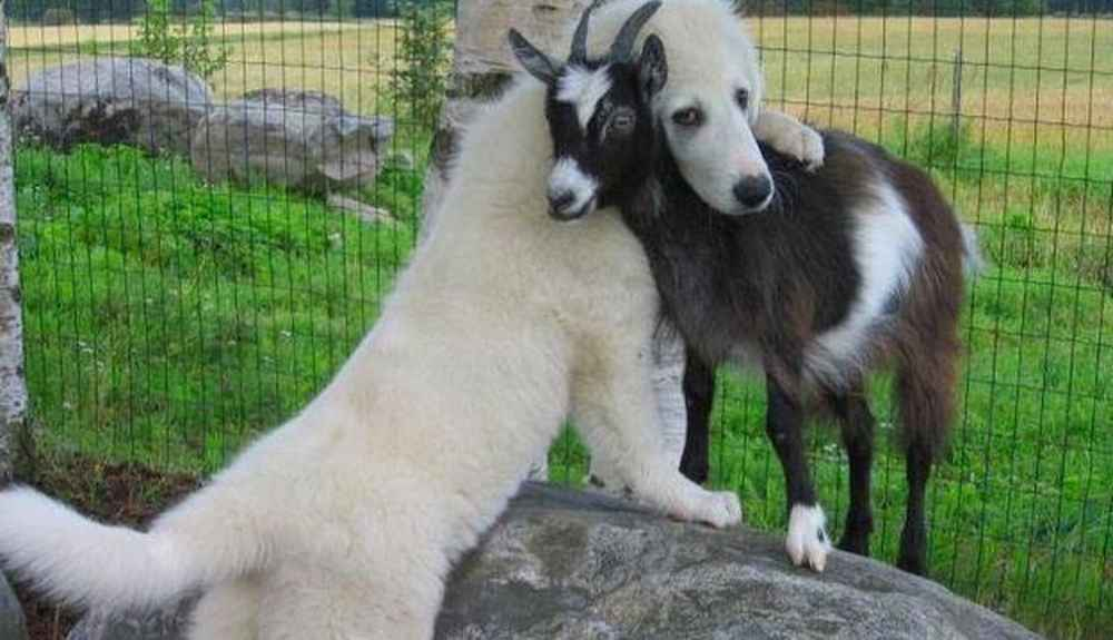 Safeguard for Goats for Dogs and Puppies Dosage Chart