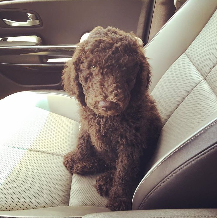 Gatsby  Chocolate Labradoodle Girl in the Car
