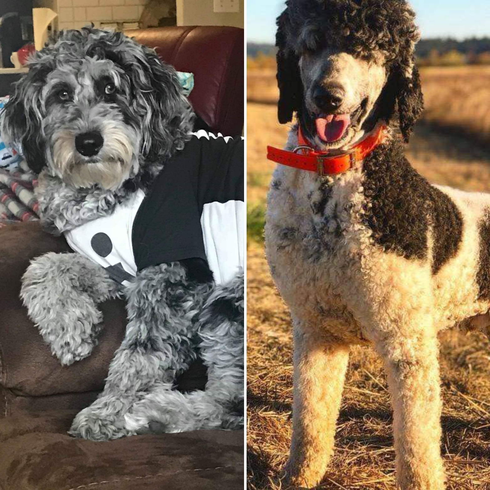 Standard Aussiedoodle Breeding Pair - Betty and Prince 2019
