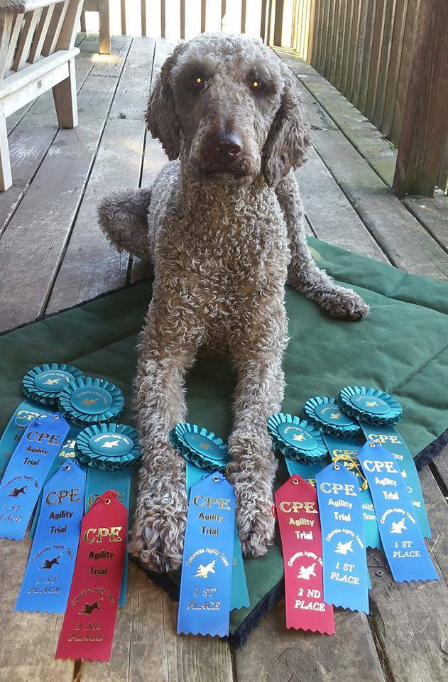 Dreamydoodles And Akc Canine Sports And Obedience