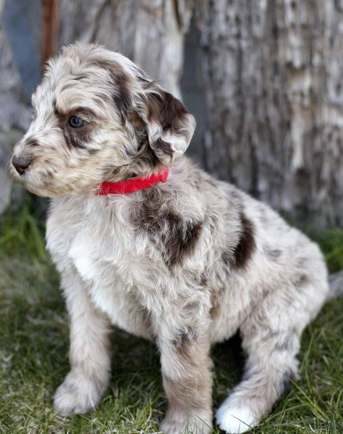 RED MERLE AUSSIEDOODLE FEMALE