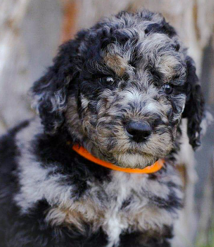 Blue Merle Phantom Male Aussiedoodle