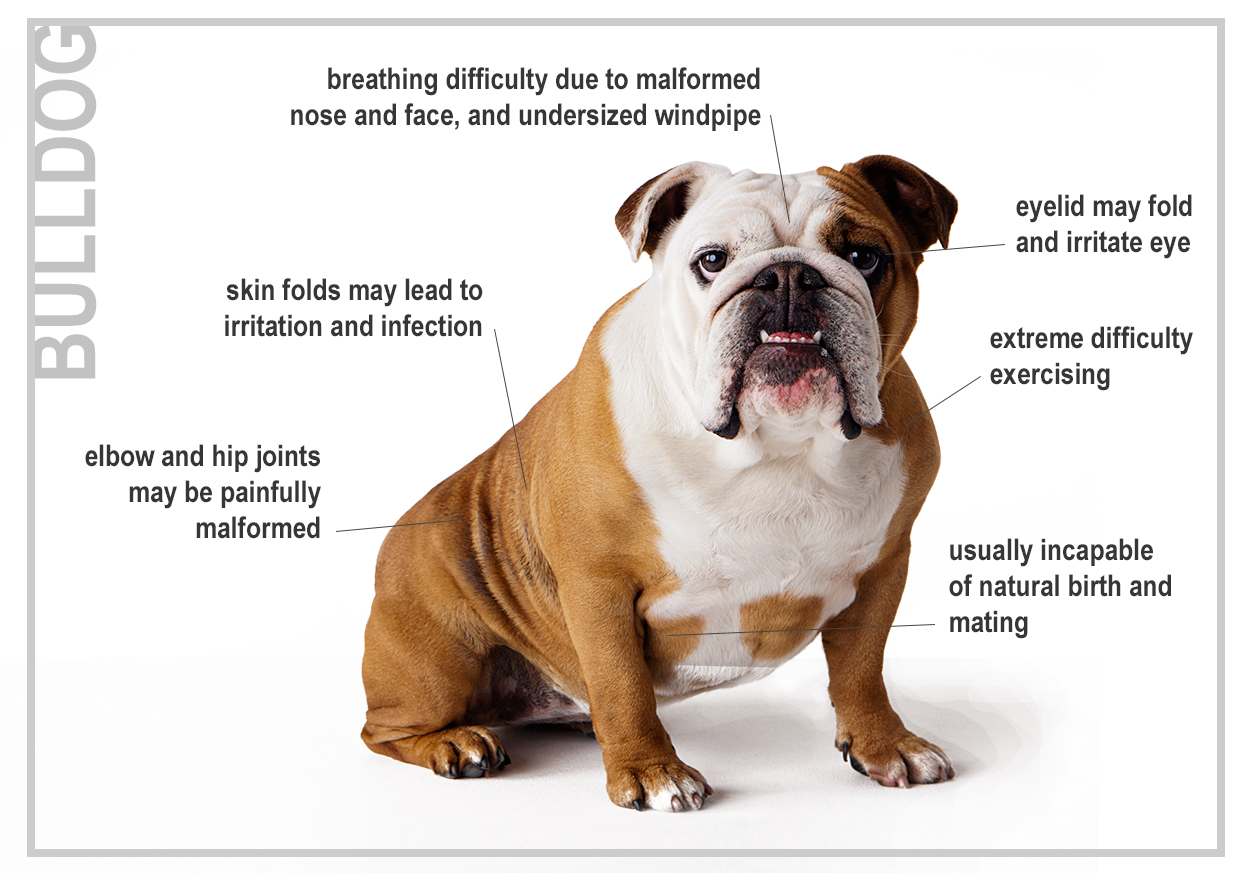 Problems common with Pure Bred Dogs - The Bull Dog