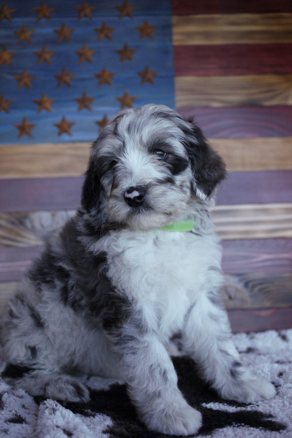 Aussiedoodle Puppy at 6 weeks old
