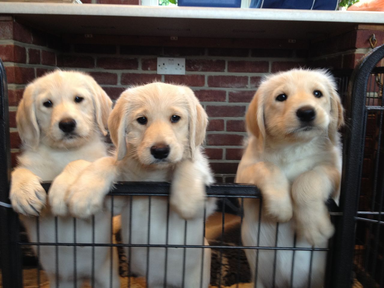 F1 Labradoodle Puppies
