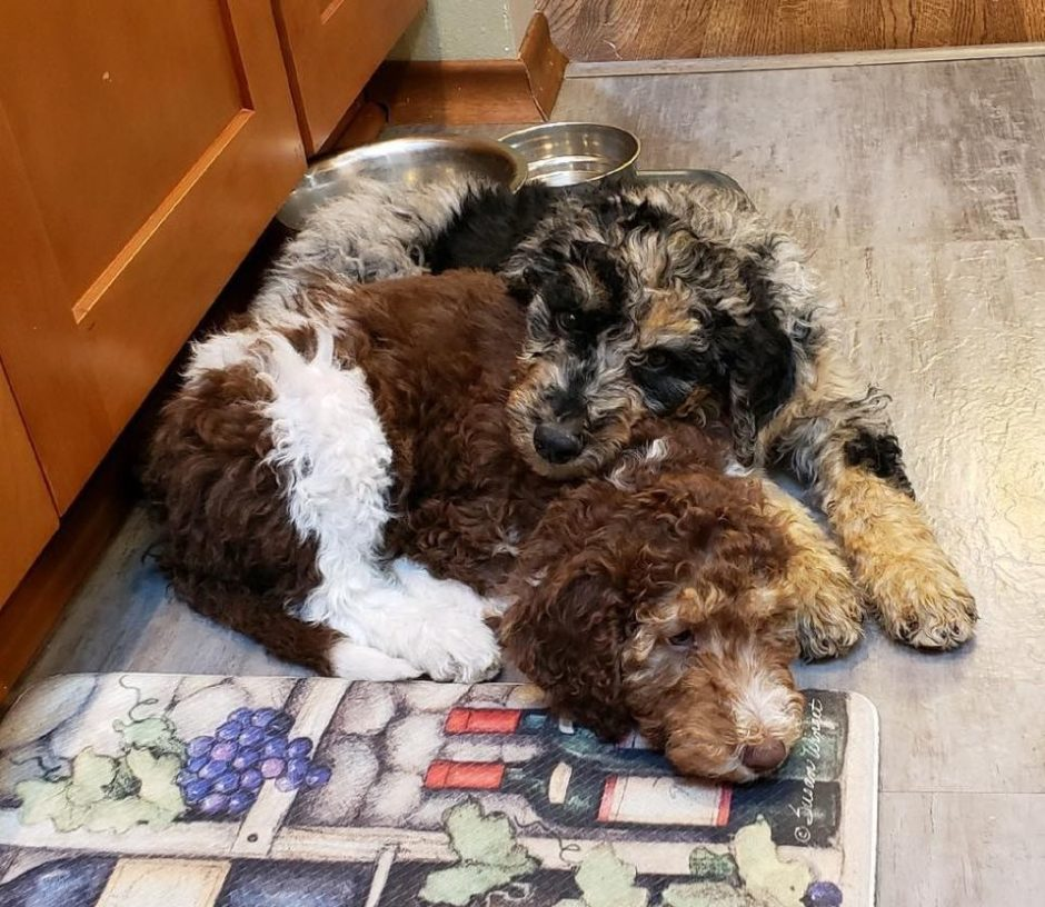 Blue Merle Aussiedoodle Puppy and Chocolate and White Parti Phantom Siblings