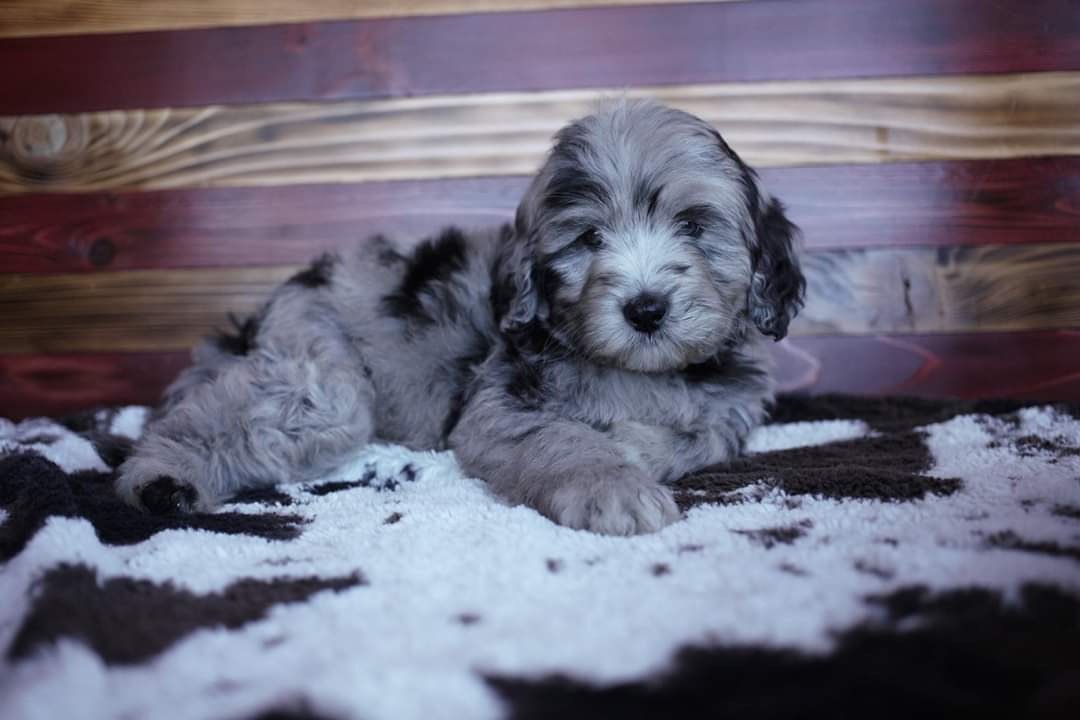 Dixie and Apollo Labradoodle/Aussiedoodle Blue Merle Boy