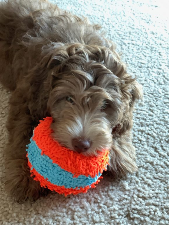 Mini Aussiedoodle Freddy with his Ball Toy Washington State Aussiedoodle and Labradoodle puppies!