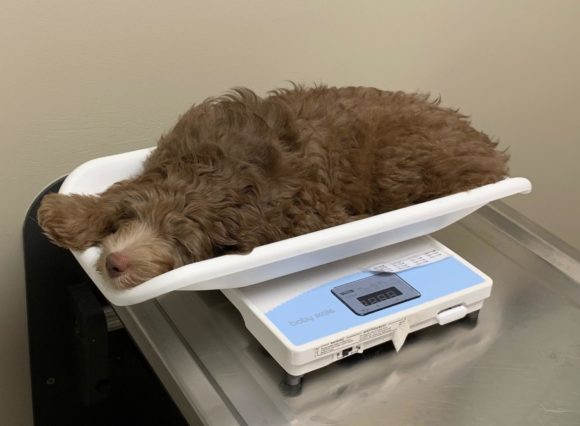 Mini Aussiedoodle Freddy at the vet asleep in the baby scale