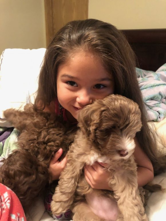 Mini Aussiedoodle Puppies and their little girl!