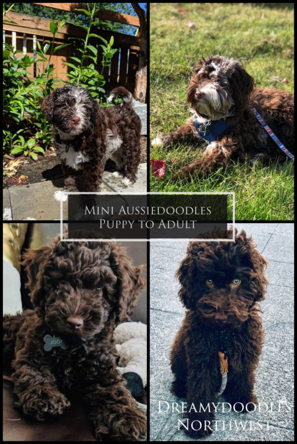 Mini Aussiedoodle Puppy to Adult Chocolate Merle and Solid Dark Chocolate