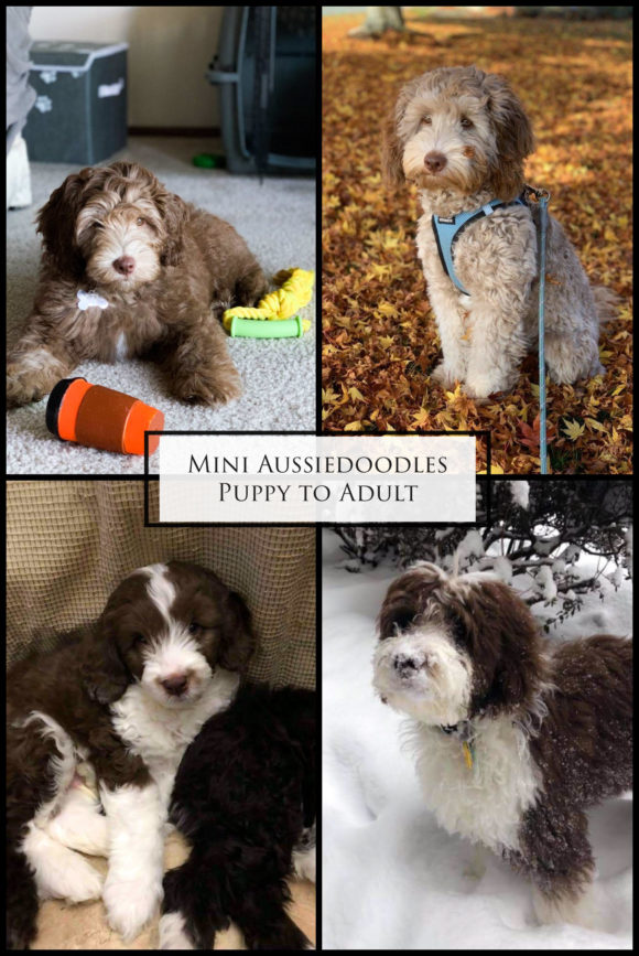 Mini Aussiedoodle Puppy to Adult Bi-Colored and Solid Chocolate