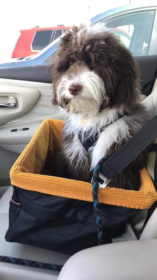 Mini Aussiedoodle adult traveling in a car seat for dogs