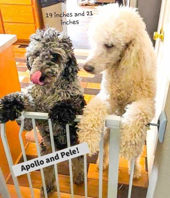 Standard Poodle Pele and Moyen Labradoodle Apollo - Height Difference in Doodles