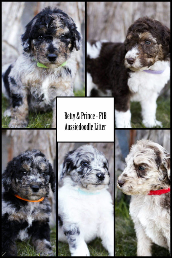 BETTY & PRINCE PAST AUSSIEDOODLE PUPPIES