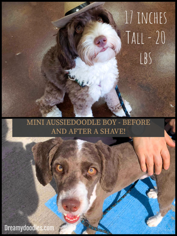 JAX Mini Aussiedoodle- Before and After a Groom or Shave