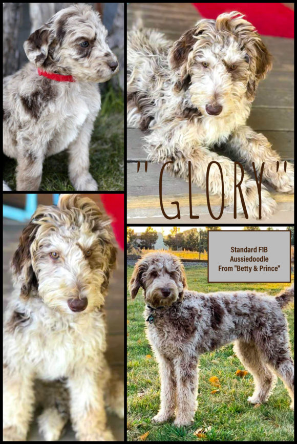 GLORY - F1B AUSSIEDOODLE FROM BETTY AND PRINCE DREAMYDOODLES WASHINGTON STATE AND OREGON STATE