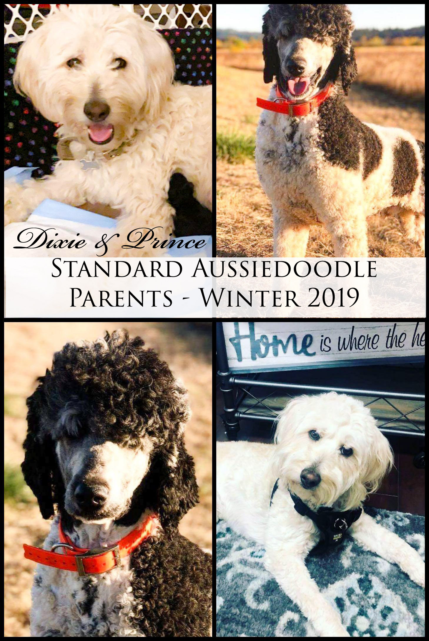 Dixie Aussiedoodle Dam and Prince Standard Poodle Sire