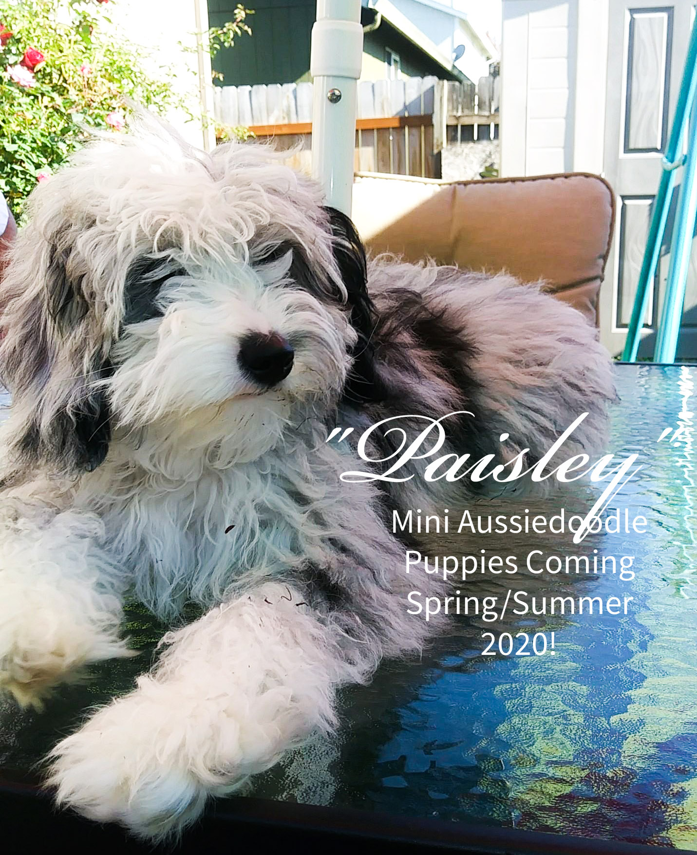 MINI AUSSIEDOODLE PAISLEY BLUE MERLE LITTERS COMING SPRING/SUMMER 2020