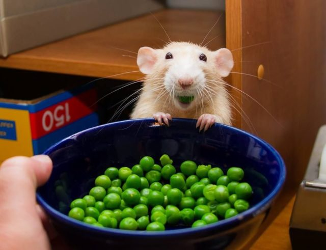 Marty the mouse Peas and Mice