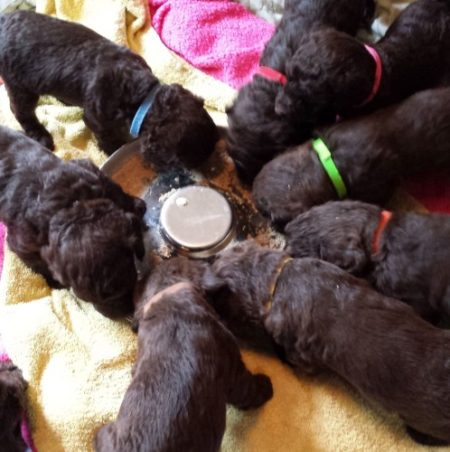 Pea Free Puppy Food