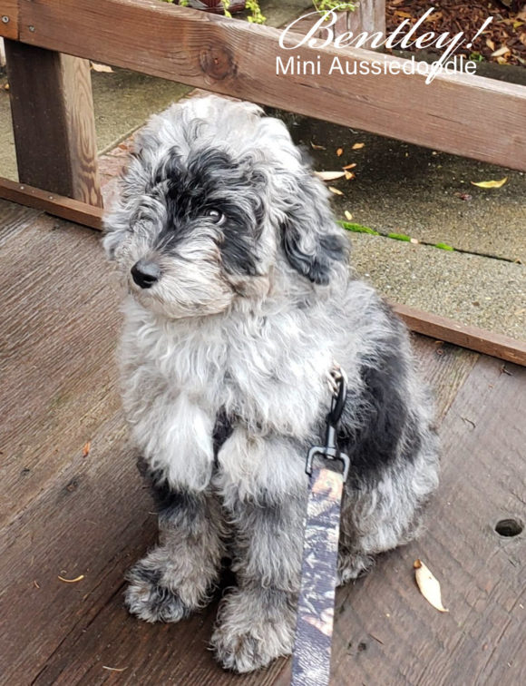 BLUE MERLE MINI AUSSIEDOODLE BOY FROM ADELE AND GEORGIE