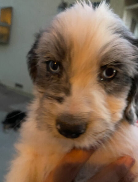 AVAILABLE BLUE MERLE PUPPY - DOUBLE BLUE EYES - MALE - AUSSIEDOODLE