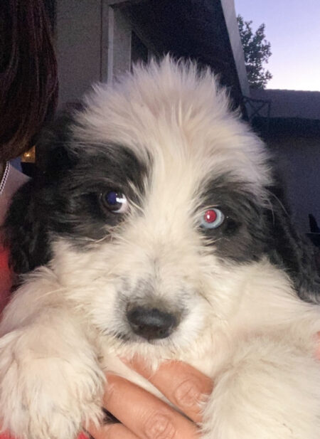 AVAILABLE BI COLORED PUPPY - ONE BLUE EYE - ONE BROWN EYE- MALE - AUSSIEDOODLE