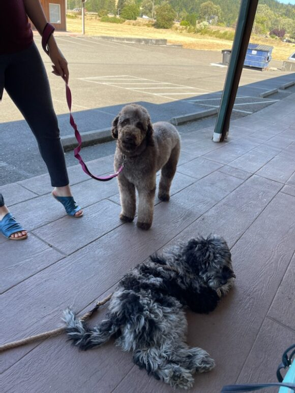 Dundee and Laurie - Australian Labradoodle Blue Merle Boy from Nova and Jasper