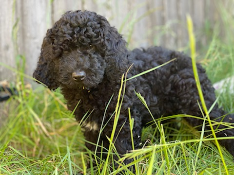 Available Abstract Black Australian Labradoodle Boy #1