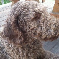 Tippy short... perfect..F1 Labradoodle