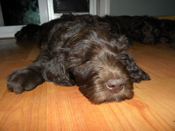Chocolate F1B Labradoodle 7 wks old Sleeping