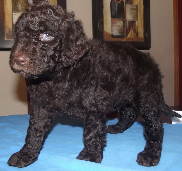 Chocolate Multigenerational Labradoodle Male