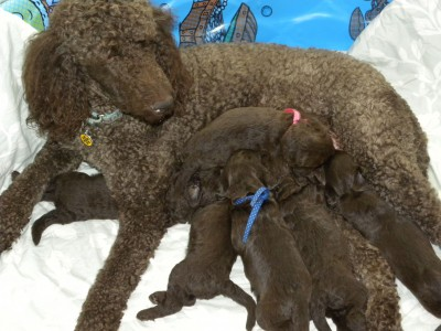 Daisy - Standard Poodle and her litter