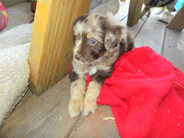 """Mini Aussiedoodle Puppy from one of our Guardian Dogs """"Molly"""""""