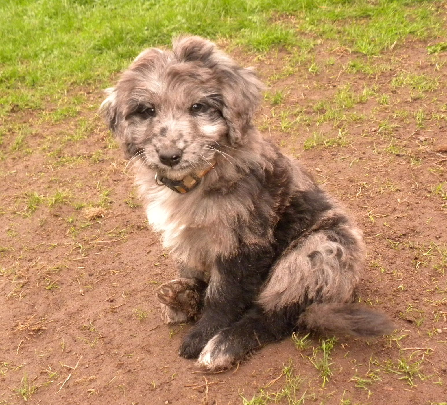 The Merle Coat Color Explained Aussiedoodle And Labradoodle