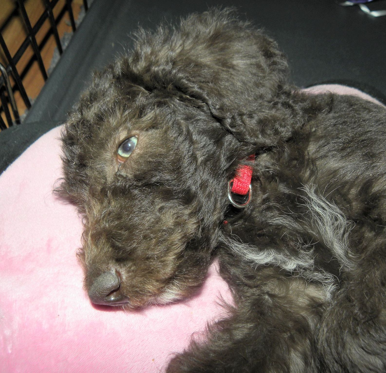Snoozy And Bibbles Male Labradoodle Puppies For Sale