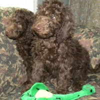 F1b Labradoodle Males