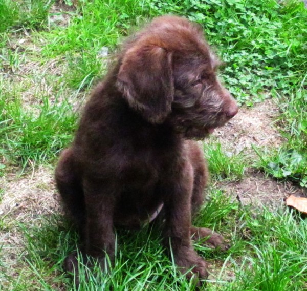 Chocolate F1 Labradoodle Puppy