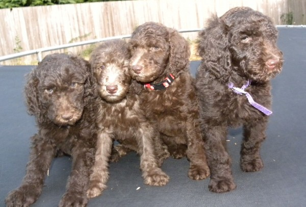 Pink Girl, Blue Boy, Red Girl and Purple Girl - F1b Labradoodles - Available