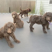 F1b Labradoodles Puppies - 7 weeks old - Early Socialization - littermates playing on the trampoline